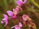 Cricket and damaged Spathoglottis flowers