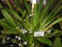 Jumellea plant with flowers at orchid show