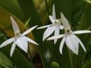 Jumellea flowers