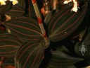 Jewel Orchid leaves and flower spike