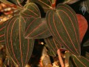 Ludisia leaves