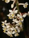 Ludisia flowers