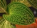 Ludisia discolor alba leaf
