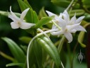 Angraecum flowers and leaves