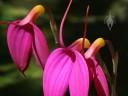 Masdevallia flowers