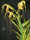 Phragmipedium plant and flowers with very long petals