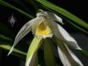 Thunia flower