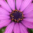 Purple African daisy close up