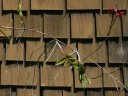 Epidendrum keikis hanging from old flower spike