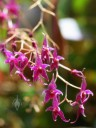 Lepanthopsis flowers