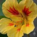 Variegated Nasturtium flower