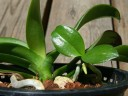 Phal keiki on mother plant