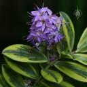 Variegated Hebe in bloom