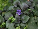 Violets and tiny Baby Tears plants