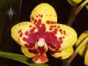 Harlequin Doritaenopsis flower