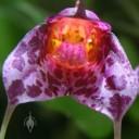 Masdevallia flower close up