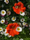 Orange Nasturtium flowers with Santa Barbara Daisies