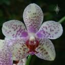 Harlequin Phal flower
