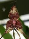 Dracula flower