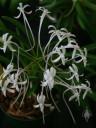 Neofinetia flowers