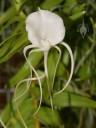 Angraecum flower