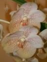 Ascocenda flowers