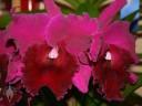Cattleya flowers