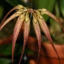 Cirrhopetalum flower buds