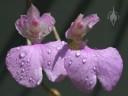 Comparettia flowers