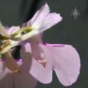 Comparettia flower back view
