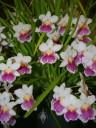 Miltoniopsis flowers