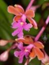 Oerstedella flowers