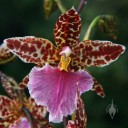 Odont hybrid flower