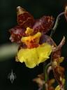 Odontoglossum flower