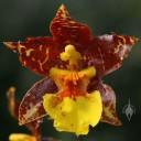 Odontoglossum hybrid flower
