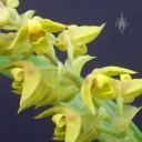 Polystachya flowers