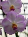 Vanda flowers