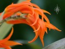 Ada flowers