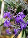 Darwinara flowers in orchid greenhouse