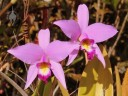 Laelia flowers