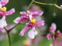 Oncidium flower