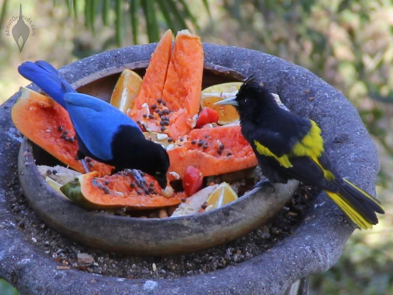 Colorful Tropical Birds At A Feeding Tray In Puerto Vallarta ...