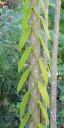 Vanilla vine growing up a tree