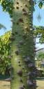 Prickly trunk of a Floss Silk Tree at Vallarta Botanical Gardens