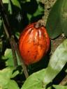 Cocoa pod at Hawaii Tropical Botanical Garden