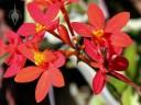 Epidendrum flowers