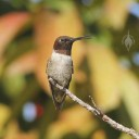 Mexican Hermit Hummingbird sticking out its tongue at Vallarta Botanical Gardens