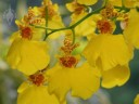 Oncidium flowers