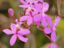 Pink Epidendrum flowers
