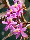 Pink Epidendrum flowers at Vallarta Botanical Gardens